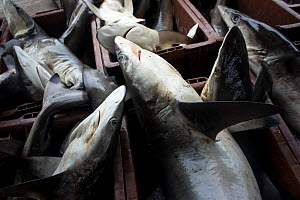 Requiem sharks (Carcharhinidae), including Tiger sharks (Galeocerdo cuvier) and Spottail sharks (Carcharhinus sorrah) caught in the Andaman Sea by longline fishing. Laid in buckets, waiting to be tran...  -  Sirachai Arunrugstichai