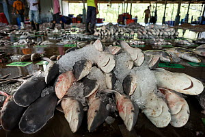 Newborn Bull sharks (Carcharhinus leucas) are laid on the floor for display during auction at a landing site in Ranong Province, Thailand, April 2015.   Majority of sharks recorded at landing sites in...  -  Sirachai Arunrugstichai