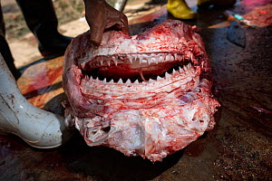 Skinned head of a Bull shark (Carcharhinus leucas) in a factory where sharks are processed into food. The flesh is stripped from the head and the dried jaws sold as souvenirs, Ranong Province, Thailan...  -  Sirachai Arunrugstichai