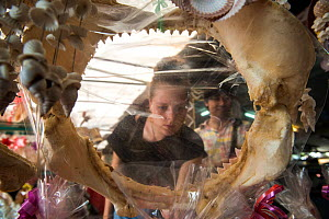 Researcher looking at the dried jaws of a Bull shark (Carcharhinus leucas) displayed for sale at souvenir shop in tourist area, Phuket Province, Thailand, October 2014.   Dried jaws are common items...  -  Sirachai Arunrugstichai