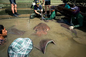 Team of aquatic veterinarians and sportfishers capture a Giant freshwater whipray (Urogymnus polylepis) from Mae Klong river for research purpose, Samut Songkhram Province, Thailand, November 2015....  -  Sirachai Arunrugstitchai