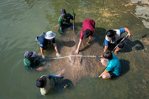 Team of aquatic veterinarians measuring the size of a Giant freshwater whipray (Urogymnus polylepis) captured in Mae Klong river for research purpose, Samut Songkhram Province, Thailand, November 2015...  -  Sirachai Arunrugstichai