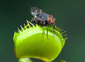 Venus Fly Trap, (Dionaea muscipula), trap closed with insect. Cultivated plant.  -  Robert Pickett