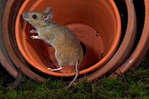 Wood mouse, (Apodemus sylvaticus), in terracotta plant pots at night, UK  -  Robert Pickett