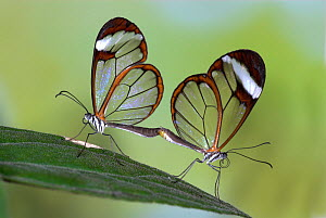 Glasswing butterfly, (Greta oto) pair mating, captive, from Central America.  -  Robert Pickett