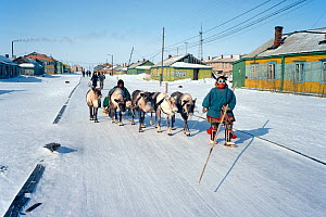 A Nenets herder leads his reindeer sled along the main street in the village of Yar-Sale. Yamal. Siberia. 1993  -  Bryan and Cherry Alexander