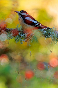 Great spotted woodpecker (Dendrocopos major) in Autumn, Andalusia, Spain, October.  -  Andres M. Dominguez