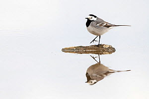 White wagtail (Motacilla alba) reflected in water. Pasvik, Norway. May.  -  Erlend Haarberg