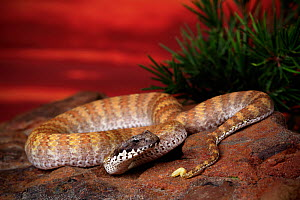 Rugose death adder (Acanthophis rugosus) male from savannah woodland habitat near Cape Crawford, Northern Territory, Australia. Controlled conditions  -  Robert Valentic