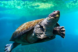 South American River Turtle swimming (Podocnemis expansa) Captive, occurs in South America.  -  Eric Baccega