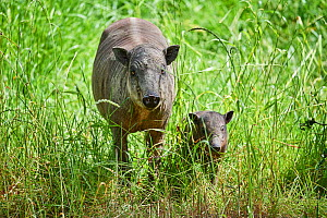 Babirusa (Babyrousa babyrussa) female with baby. Captive, occurs in Sulawesi, Indonesia  -  Eric Baccega