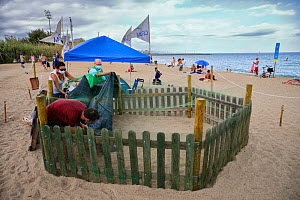 CRAM volunteers cover a loggerhead turtle (Caretta caretta) nest from the rain on the beach, protected and guarded to avoid disturbances, Barcelona, Catalonia, Spain, August. These are from the first...  -  Oriol  Alamany