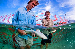 Shark biologist Ian Bouyoucos and education programme assistant Cameron Raguse from the Cape Eluthera Institute release two juvenile lemon sharks (Negaprion brevirostris) back into the wild. The shark...  -  Shane Gross