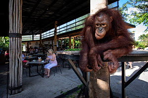 Orangutan (Pongo sp.) during a �Breakfast with the Orangutans Experience' at Bali Zoo, Indonesia. Such attractions increase the risk of disease transmission between humans and animals. April 2019.  -  Aaron Gekoski