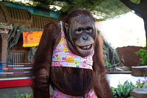 Orangutan (Pongo sp.) forced to perform in a show and trained to �smile' for the entertainment of tourists. Phnom Penh Safari, Cambodia. October 2019. Mandatory credit: Aaron Gekoski / Born Free F...  -  Aaron Gekoski / Born Free Foundation