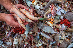 A handful of shrimp are displayed next to a pile of bycatch (including fish, squid, crabs and coral). Florida, USA. January 2018. Bycatch is one of the biggest threats facing facing our oceans today,...  -  Aaron Gekoski