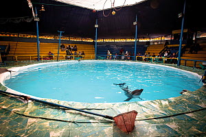 A captive Bottlenose dolphin (Tursiops truncatus), languishing in a small swimming pool in Indonesia, part of a travelling circus that also featured bears and otters. July 2018. Mandatory credit:...  -  Aaron Gekoski / Born Free Foundation