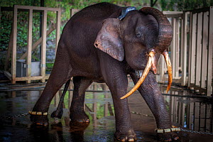 Male Borneo pygmy elephant (Elephas maximus borneensis) rescued from a palm oil plantation, where he was at risk of conflict with workers. He was re-released far from human settlements by the Wildlife...  -  Aaron Gekoski / Scubazoo