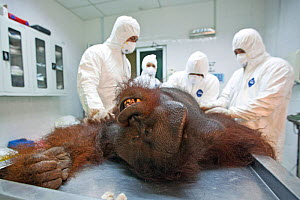 Orangutan (Pongo sp.) undergoing a full medical check and unique identifying tattoo by members of the Wildlife Rescue Unit (WRU), a team of vets and rangers who rescue and translocate animals around S...  -  Aaron Gekoski / Scubazoo