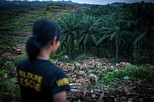 Dr Laura Benedict of the Wildlife Rescue Unit assessing a herd of Borneo pygmy elephants (Elephas maximus borneensis) in a palm oil plantation in Borneo. Left alone in the plantation, the elephants ma...  -  Aaron Gekoski / Scubazoo