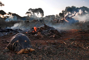 Radiated tortoise (Astrochelys radiata) on deforested land, Madagascar. Forests (the tortoises' natural habitat) are being cleared for the charcoal and rice industries, and for cattle pasture. Sep...  -  Aaron Gekoski