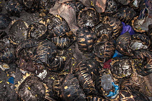 Tortoise shells in a dump outside of Antananarivo, Madagascar. Although protected under Malagasy law, tortoise meat is consumed by some tribes and increasingly offered in restaurants throughout the co...  -  Aaron Gekoski