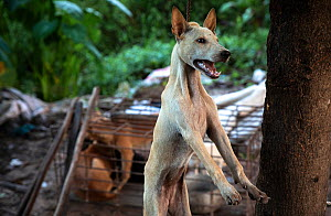 Dog being killed for the dog meat trade in Cambodia. She was clubbed over the head, strung up in a tree and left to bleed out. October 2019.  -  Aaron Gekoski