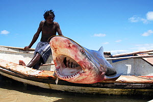 Fisherman with a large Bull shark (Carcharhinus leucas), Mozambique, Southern Africa. March 2011.  -  Aaron Gekoski