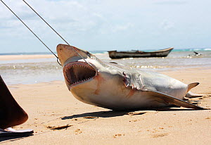 Bull shark (Carcharhinus leucas) caught by fishermen, being dragged along the sand. Mozambique, Southern Africa. The shark's fins will be removed and sold, while the meat will be consumed by the l...  -  Aaron Gekoski