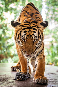 Tiger (Panthera tigris) tethered to a short chain, used as a prop for 'selfies' with tourists. Phuket Zoo, Thailand. March 2018.  -  Aaron Gekoski