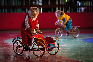 Macaques on bicycles, performing in a show at the Dam Sen Amusement Park, Vietnam. Captive. August 2019. Mandatory credit: Aaron Gekoski / Born Free Foundation / naturepl.com  -  Aaron Gekoski / Born Free Foundation