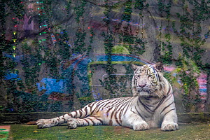 Leucistic / white tiger (Panthera tigris) at Saigon Zoo, Vietnam, displayed in front of a noisy and bright amusement park. Captive. Mandatory credit: Aaron Gekoski / Born Free Foundation / naturep...  -  Aaron Gekoski / Born Free Foundation