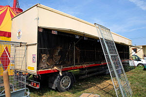 Circus lions kept in small, dirty cages for transport around the country. Cirkus Humberto, Czech Republic. Captive, Mandatory credit: Aaron Gekoski / FOUR PAWS / naturepl.com. NO DOWNLOAD WITHOUT...  -  Aaron Gekoski / FOUR PAWS