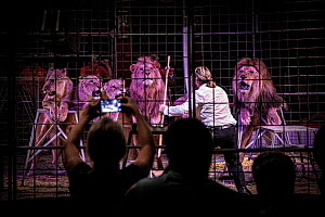 Lions (Panthera leo) are coerced into performing at Cirkus Humberto, Czech Republic. Captive. Mandatory credit: Aaron Gekoski / FOUR PAWS / naturepl.com. NO DOWNLOAD WITHOUT PRIOR APPROVAL:  -  Aaron Gekoski / FOUR PAWS