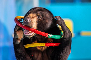 Sun bear (Helarctos malayanus) at a travelling dolphin show in Bogor, Indonesia. The bear was given incentives in order to perform, and fed treats throughout. For many animals used in such shows, this...  -  Aaron Gekoski / Born Free Foundation