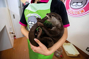 Asian small-clawed otter (Aonyx cinereus) at a café in Tokyo, Japan. Tourists can pay to spend time at otter cafes where they can feed, take selfies and interact with captive otters. This one had bit...  -  Aaron Gekoski / World Animal Protection