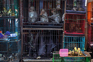 Wet market with civets, bats, monkeys, cats, puppies, birds, reptiles, and more crammed into small cages. Jatinegara, East Jakarta, Indonesia. March 2019. Mandatory credit: Aaron Gekoski / World A...  -  Aaron Gekoski / World Animal Protection