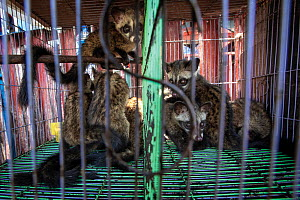 A cage full of baby civets at a wet market in Indonesia. Civets are either kept as exotic pets or used to produce a luxury coffee. March 2019. Mandatory credit: Aaron Gekoski / World Animal Protec...  -  Aaron Gekoski / World Animal Protection