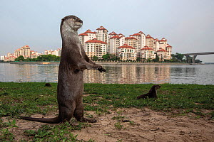Smooth coated otter (Lutrogale perspicillate) in urban environment, Singapore. April 2019. Mandatory credit: Aaron Gekoski / World Animal Protection / naturepl.com. NO DOWNLOAD WITHOUT PRIOR APPRO...  -  Aaron Gekoski / World Animal Protection