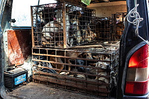 A van full of dogs about to be offloaded at a slaughterhouse in Cambodia. Many dogs die during the transportation process.  -  Aaron Gekoski