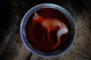 A dead dog sits in a bucket of bloodied water, where it will be chopped up and served to customers at a restaurant in Phnom Penh, Cambodia. October 2019.  -  Aaron Gekoski