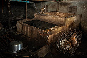 Dog meat slaughterhouse in Phnom Penh, Cambodia. Caged dogs and a pet monkey kept beside a concrete 'drowning pit'. October 2019.  -  Aaron Gekoski