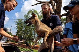 Animal rescuers from FOUR PAWS rescue a dog from a meat trader in Phnom Penh, Cambodia. The dog was taken to a clinic, ready for adoption. October 2019.  -  Aaron Gekoski
