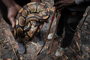 Royal / Ball python (Python regius) caught by a team of python hunters in Ghana, Africa. January 2020. Mandatory credit: Aaron Gekoski / World Animal Protection / naturepl.com. NO DOWNLOAD WITHOUT...  -  Aaron Gekoski / World Animal Protection
