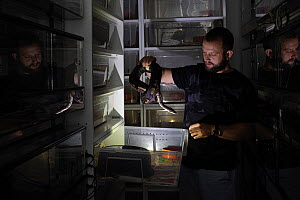 A small-scale breeder keeps Royal / Ball pythons (Python regius) in a series of plastic containers known as a racking system. Czech Republic. September 2019. Mandatory credit: Aaron Gekoski / Worl...  -  Aaron Gekoski / World Animal Protection