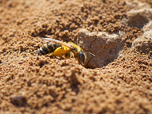 Common furrow bee / Slender mining bee (Lasioglossum calceatum) with full pollen baskets entering her nest burrow in an arable field margin, Wiltshire, UK, April.  -  Nick Upton