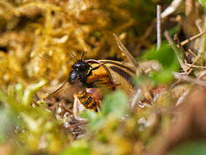 Two-coloured mason bee (Osmia bicolor) entering her nest in a Brown-lipped snail (Cepaeae nemoralis) shell with a chewed up leaf to seal a brood cell with after provisioning it with balls of pollen an...  -  Nick Upton