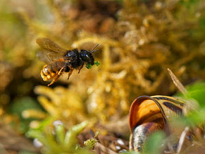 Two-coloured mason bee (Osmia bicolor) flying to her nest in a Brown-lipped snail (Cepaeae nemoralis) shell with a chewed up leaf to seal a brood cell with after provisioning it with balls of pollen a...  -  Nick Upton