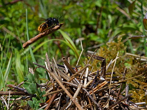 Two-coloured mason bee (Osmia bicolor) flying in with a stick to add to a growing pile of vegetation camouflaging her nest in a Brown-lipped snail (Cepaeae nemoralis) shell on a chalk grassland slope,...  -  Nick Upton