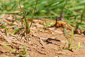 Common / Dark-edged bee fly (Bombylius major) female hovering while flicking its tail down to 'bomb' eggs onto the ground near the nest entrances of a Mining bee (Andrena sp.) which its larvae...  -  Nick Upton